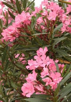 Ki a leanderekkel! Special Flowers, Beautiful Roses, Outdoor, Gardening, Vegetable Garden, Garden, Plants, Shrubs, Display
