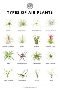 They are called air plants, because they do not root in soil Sie werden Luftpflanzen genannt, weil sie nicht im Boden wurzeln Types Of Air Plants, Air Plants Care, Types Of Succulents, Cacti And Succulents, Planting Succulents, Garden Plants, House Plants, Planting Flowers, What Are Air Plants