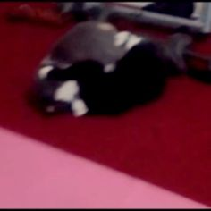 Mini and jackington at it again. #notbehaving #cats #playing #fighting…