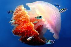 Jellyfish. it's almost acting as a habitat for these fish