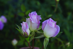 Figurine | Ludwigs Roses : Most elegant, long pointed buds of delicate cream-pink, open into perfect porcelain figurine. Bush vigorous with many blooms. Stem length 20-20cm. Also available as a garden rose. View info.