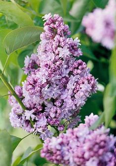 French Lilacs: Named for an important French lilac hybridizer, the double-petal florets of 'victor Lemoine' are classified as lilac but can look blue or pink.