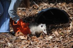 Two sister opossums are now on exhibit along the Virginia Living Museum's outddor trail.