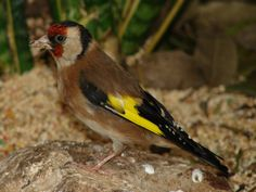 The European Goldfinch (Carduelis carduelis) is native to all of Europe, as well as eastern Russia and Asia.  Florida Museum of Natural History photo by Ryan Fessenden