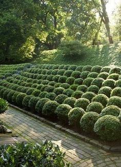 Boxwoods in ball