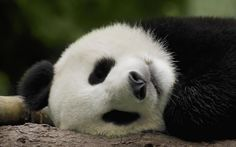 Sleeping panda bear. Courtesy http://www.free-desktop-backgrounds.net (CC). - Pixdaus