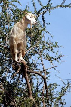 Goat in a tree - Love this !
