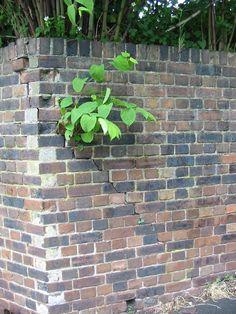 Japanese knotweed pushing its way through a brick wall!