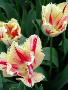 Pictures from Keukenhof Gardens near Amsterdam - Famous Tulip and Flower Gardens: Red and Yellow Parrot Tulips in a Showcase Pavilion at Keukenhof Gardens