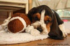 Sweet basset puppy