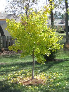Ginkgo - in honor of my Dad