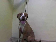 SUPER URGENT 3/19/14 Manhattan Center   ISIS - A0994148 INJURED! FEMALE, BROWN / WHITE, PIT BULL MIX, 2 yrs SEIZED -came with gunshot wound on rt hind foot fresh wound on rt medial metatarsal area was bleeding and checked bleeding blood cleaned ..... HOLD FOR ID Reason OWNER HOSP  Intake condition INJ SEVERE Intake Date 03/17/2014, From NY 10452, DueOut Date 03/24/2014, https://www.facebook.com/photo.php?fbid=773430609336487&set=a.617942388218644.1073741870.152876678058553&type=3&theater