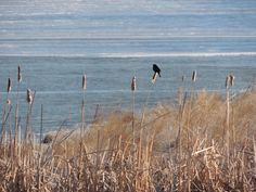 Early spring- the Redwinged Blackbirds are back!