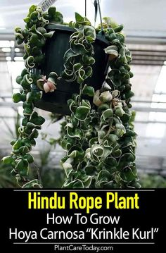 "Hindu Rope Plant Care: How To Grow Hoya Compacta ""Krinkle Kurl"" Hindu Rope Plant Care: How To Grow Hoya Carnosa ""Krinkle Kurl"" Outdoor Plants, Garden Plants, Plants Indoor, Garden Shrubs, Flowering Plants, Foliage Plants, Outdoor Gardens, Crassula Succulent, Hindu Rope Plant"
