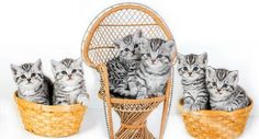 British Shorthair Kittens | © Cattery Wiskita | The Netherlands | KittenTeKoop.nl
