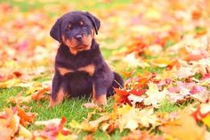 Rottweiler puppy loving the fall time