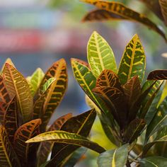 Houseplants scrub the air clean, boost moisture in dry weather, and add beautiful greenery even in winter. Hardy Plants, Air Plants, Indoor Plants, Indoor Gardening, Gardening Tips, Deadheading Flowers, Wholesale Plants, Lucky Plant, Inside Plants