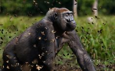 Western lowland gorilla female in a cloud of butterflies, Dzanga-Sangha Special Reserve, Central African Republic | Western lowland gorilla female in a cloud of butterflies, Dzanga ...