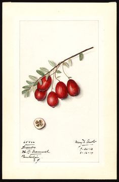 American Cranberry (Jumbo). 1914.Watercolour by Mary Daisy Arnold (1873-1955).Image and text courtesy U.S. Department of Agriculture Pomological Watercolor Collection. Rare  and Special Collections, National Agricultural Library, Beltsville, MD  20705