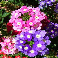 Hanging Verbena flower seeds potted flowers indoor plants seasons seeds  30PCS AA
