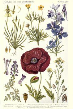 8.Botanical-New-British-Herbal-Flowers-of-Cornfields