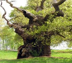 Ancient tree, Hatfield Forest