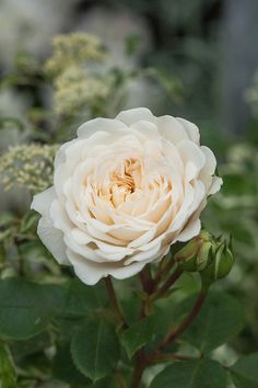 Rosa Tranquillity ('Ausnoble'), mid May. An English Musk Rose with flowers of a beautifully rounded shape and neatly placed petals, making up a perfect rosette. The opening buds are lightly tinged with yellow but as the flowers open they become pure white. There is a light apple fragrance.