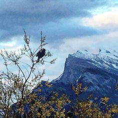 Red-winged blackbird contemplating the sunset. #canadianrockies