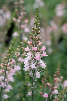 "Linaria purpurea 'Cannon Went' or ""Pink Toadflax"" - Easy to grow!  Lovely pink, small, snapdragon-like flowers over thin grayish leaves.  To 2' tall.  Blooms June-Sept.  Reseeds.  Sun to part shade.  Drought tolerant and deer resistant.  Perennial zones 5-10."