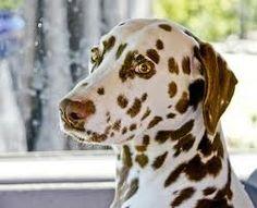Brown Dalmatian | dalmatian brown spots | Maybe baby... Wishlist?