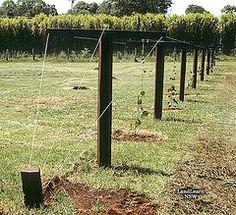 Kiwi fruit trellis system | par LandLearn NSW Kiwi Growing, Growing Fruit Trees, Dragon Fruit Garden, Permaculture, Arbors Trellis, Trellis Ideas, Hardy Kiwi, Kiwi Vine, Kiwi Berries