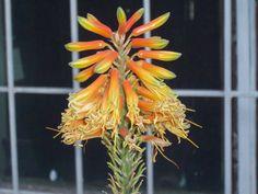 Flor de Sávila