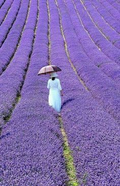 France and it's Lavender.