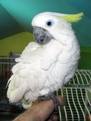 Tui Tui is an adoptable Cockatoo Parrot in Monroeville, PA. Tui Tui (pronounced Tee Tee) is a Triton cockatoo in his (we believe) 40's. His long time owner had to go into an assisted living facility, ...