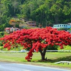El Flamboyan, was the name of my grandfather's little grocery store in Bayamon, Puerto Rico, named after this beautiful red flowering tree. Bayamon, also the place of my birth! Delonix Regia, Blooming Trees, Flowering Trees, Beautiful Islands, Beautiful Places, Cuba, Puerto Rican Culture, Enchanted Island, San Juan Puerto Rico