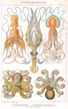 Animal - Curiosity - Octopus - educational plate (1902)