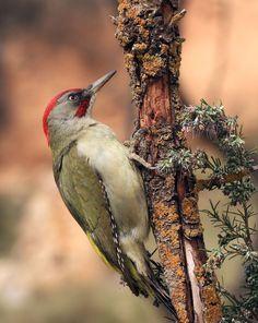 Brown Woodpecker (Picoides fumigatus)