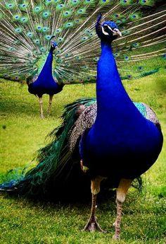 Beautiful Peacock!!!!