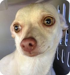 Trenton, NJ - Chihuahua. Meet Ivy a Dog for Adoption. Oh that sweet scared little face!