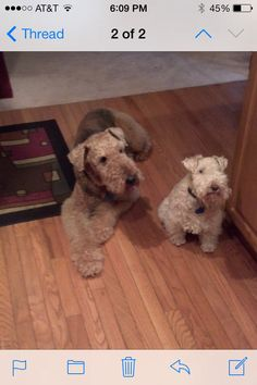 fonze the airedale and birdie lakeland terrier