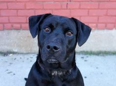 TO BE DESTROYED - 10/29/14 Brooklyn Center   My name is LUTHER. My Animal ID # is A1017065. I am a male black labrador retr. The shelter thinks I am about 3 YEARS old.  I came in the shelter as a STRAY on 10/10/2014 from NY 11691, owner surrender reason stated was STRAY.