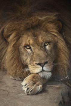 Lion - thinking ..........