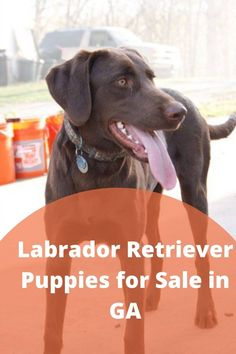 Labrador retriever puppies for sale in GA is now very easy. Various Labrador breeders and suppliers perform well in Georgia. But, we focused on those who are experts in........ #silverlabradors #silverlabradorsofinstagram #silverlabradorretriever Labrador Breeders, Labrador Puppies For Sale, Silver Labrador Retriever, Retriever Puppies, Labs, Georgia, Animals, Instagram, Animales