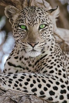 Eye of the Leopard | Read More Info