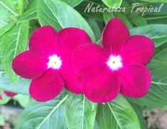 Flor de la Vicaria, Catharanthus roseus o Vinca rosea