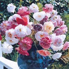 Måske den nemmeste blomst at så fra frø af alle! Med disse valmuer er man simpelthen garanteret succes: Åbn frøposen, drys frøene ud på jorden (eller i en krukke) og vent et par måneder. Med denne indsats vil du blive belønnet med en fantastisk blanding af dobbelte silkevalmuer i de mest raffinerede pastelfarver. Latinsk navn: Papaver rhoeas Engelsk navn: Poppy Angels Choir Såtidspunkt: I april-maj på voksestedet. Blomstring: Juli-august. Højde: 60-75 cm. Placering: Fuld sol. Type: Etårig…