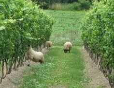eco-friendly wine farming