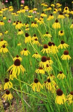 The tall upright habit and deep yellow blooms of this United States native make it ideal for the back of the garden border. Echinacea paradoxa blooms have distinctive reflexed petals of brilliant yell
