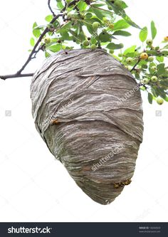 stock-photo-beehive-hanging-over-a-cherry-branch-isolated-on-white-16694929.jpg…