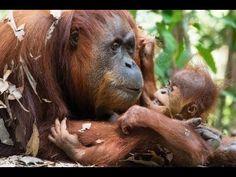 Indonesian government must halt road through orangutan reserve, says green prize winner   Environment   The Guardian